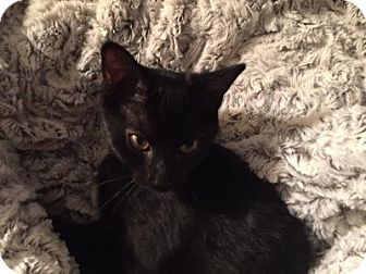 Domestic Shorthair Kitten for adoption in Alexandria, Virginia - Tank