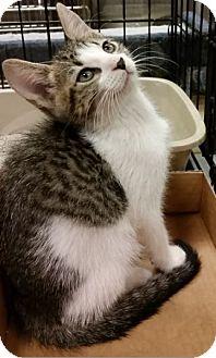Domestic Shorthair Kitten for adoption in Hallandale, Florida - Dill