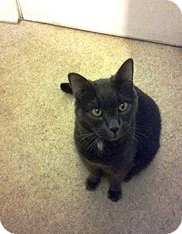 Domestic Shorthair Cat for adoption in Putnam, Connecticut - Calvin