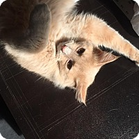 Adopt A Pet :: Mr. Floofy Tail - Richmond, VA