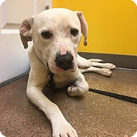 Adopt A Pet :: Asher - Hillsboro, MO