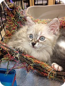 Siamese Kitten for adoption in Fort Lauderdale, Florida - Gracie