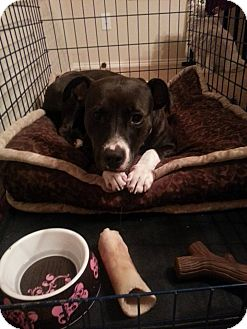 Staffordshire Bull Terrier Mix Dog for adoption in Dallas, Texas - Lola