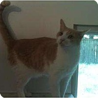 American Shorthair Cat for adoption in Ringwood, Illinois - JB
