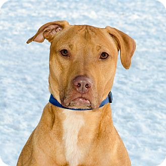 Labrador Retriever/Pit Bull Terrier Mix Dog for adoption in albany, New York - CECE