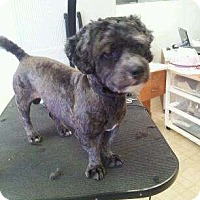 Poodle (Miniature)/Toy Fox Terrier Mix Puppy for adoption in Pompano Beach, Florida - Ernie