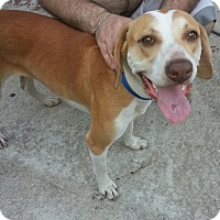 Hound (Unknown Type) Mix Dog for adoption in Tallahassee, Florida - Gypsy