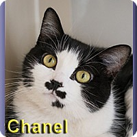 Adopt A Pet :: Chanel - Aldie, VA