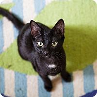 American Shorthair Kitten for adoption in Jacksonville, Florida - India