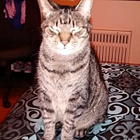 American Bobtail Cat for adoption in Seaford, Delaware - Stubby