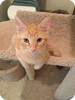 Domestic Shorthair Kitten for adoption in Prescott, Arizona - Hobbes