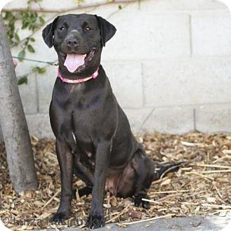 Labrador Retriever/Shar Pei Mix Dog for adoption in Las Vegas, Nevada - Whisper