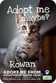 Domestic Shorthair Kitten for adoption in Jacksonville, Florida - Rowan