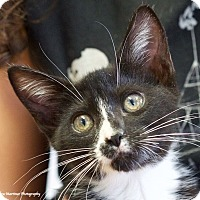 Adopt A Pet :: Socks - Knoxville, TN