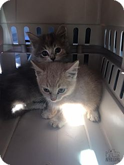 Domestic Shorthair Kitten for adoption in Troy, Illinois - Mork (Fostered Mandy M)