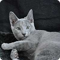 Russian Blue Cat for adoption in Kingwood, Texas - Lady Gray