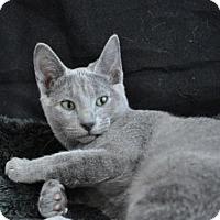 Adopt A Pet :: Lady Gray - Kingwood, TX