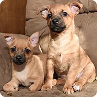 Adopt A Pet :: Jack Russell Terrier Puppies - Denver, CO