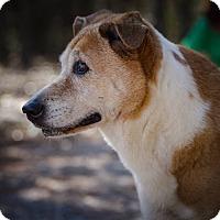 Adopt A Pet :: Ginger - Weeki Wachee, FL