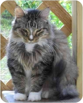 Maine Coon Cat for adoption in Elkton, Maryland - I may not be perfect but....