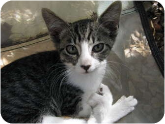 American Shorthair Kitten for adoption in Morgan Hill, California - Bella