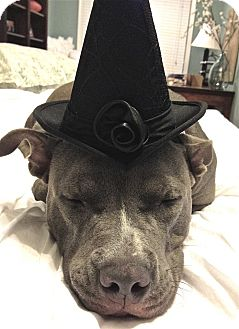 Staffordshire Bull Terrier Mix Dog for adoption in Atlanta, Georgia - Minnie (aka Memphis Minnie)