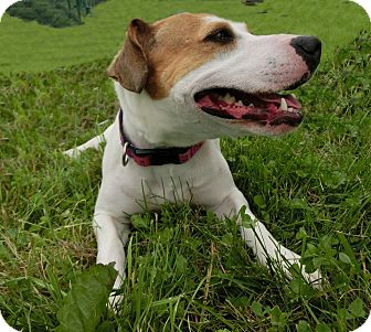 Jack Russell Terrier Mix Dog for adoption in New Manchester, West Virginia - MANDY