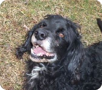 Cocker Spaniel Mix Dog for adoption in Westminster, Maryland - Henry 1071 in MD