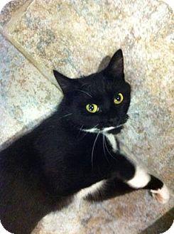 Domestic Shorthair Cat for adoption in West Babylon, New York - Stash