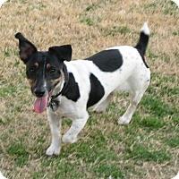 Adopt A Pet :: Lily In Austin - San Antonio, TX