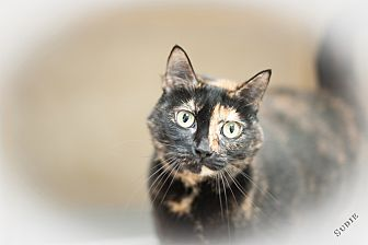 Calico Cat for adoption in Salisbury, North Carolina - Sudie