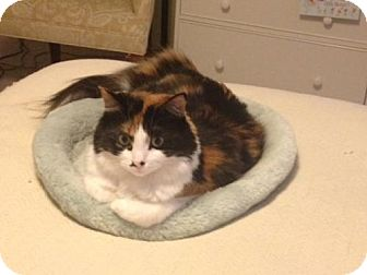 Calico Cat for adoption in Los Angeles, California - Dolly
