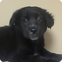 Adopt A Pet :: Lab mix puppies - Lincolnton, NC