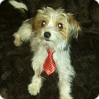 Adopt A Pet :: Tony Stark - Youngstown, OH
