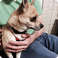 Chihuahua Mix Dog for adoption in Santa Fe, Texas - Peanut Butter
