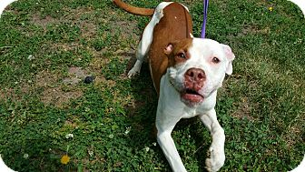 Pit Bull Terrier Mix Dog for adoption in Marion, Indiana - Prancer