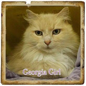 Maine Coon Cat for adoption in Harrisburg, North Carolina - Georgia Girl