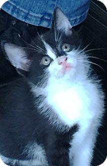 Domestic Shorthair Kitten for adoption in Lebanon, Pennsylvania - Bear