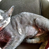 Adopt A Pet :: Gracie - Keller, TX