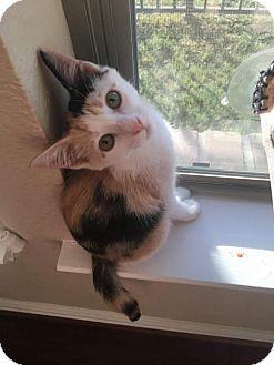 Calico Kitten for adoption in ROSENBERG, Texas - Xanthus