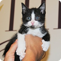 Domestic Mediumhair Kitten for adoption in Agoura Hills, California - Sasha