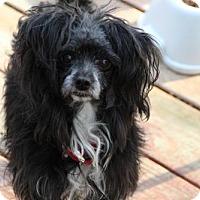 Adopt A Pet :: Bear - Morganville, NJ