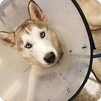 Adopt A Pet :: Snow - Fullerton, CA
