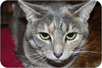 Domestic Shorthair Cat for adoption in Ephrata, Pennsylvania - Maia