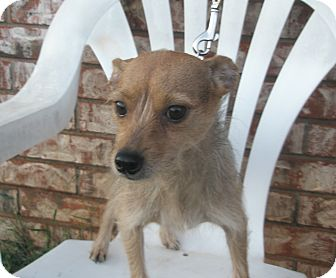 "Chihuahua/Yorkie, Yorkshire Terrier Mix Dog for adoption in McLoud, Oklahoma - Charolotte ""Lottie"""