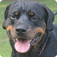 Adopt A Pet :: Shica - Alachua, GA