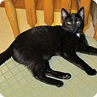 Domestic Shorthair Cat for adoption in Rohrersville, Maryland - Rhea
