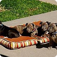 Adopt A Pet :: MOET (MONET) - Southampton, PA