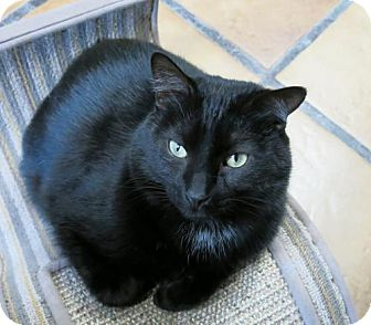 Domestic Shorthair Cat for adoption in Northbrook, Illinois - Middie