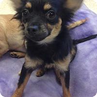 Adopt A Pet :: DeeDee - Gilbert, AZ
